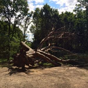 Kenwood Trees